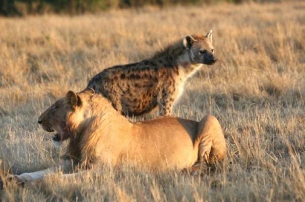 Der Löwe in ewiger Feindschaft mit der Hyäne