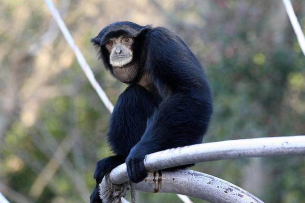 Die tagaktiven Bewohner des Waldes sind mit ihren langen Armen und den weit unten angesetzten Daumen perfekt an der hangelnden Lebensweise angepasst.