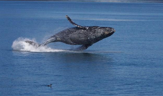 Der Buckelwal ist ein Akkrobat und springt mit seiner vollständigen Körperlänge aus dem Wasser.