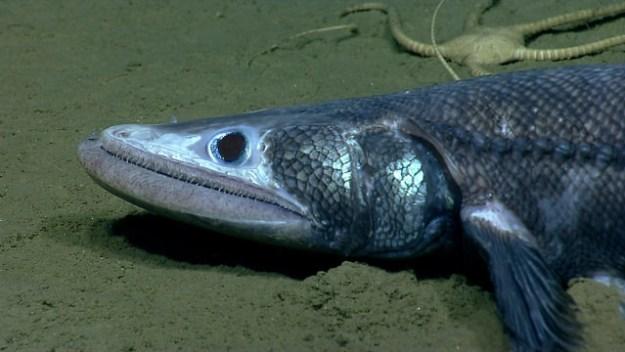 Tiefsee-Eidechsenfisch