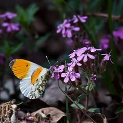 Der Aurorafalter (Anthocharis cardamines) ist ein Schmetterling (Tagfalter) aus der Familie der Weißlinge (Pieridae).
