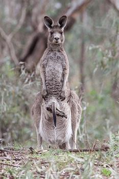 Das Östliche Graue Riesenkänguru (Macropus giganteus). Muttertier mit Jungtier im Beutel.