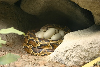 Brutpflege: Die Tigerpython kringelt sich um ihre Eier und brütet sie aus.