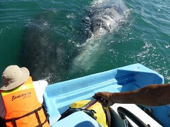 Grauwale haben vor vor der Küste Mexikos (Baja Californis) keine Berührungsängste mit Menschen.