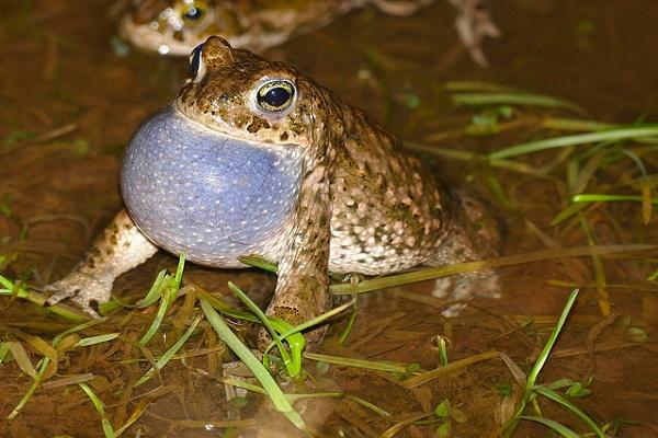 Paarungszeit Kreuzkröten: Die Rufe Männchen sind in den lauen Sommernächten weit zu hören.