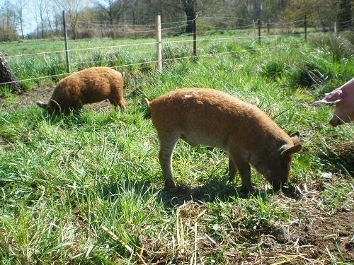 Schwein gehabt, diese Tiere haben ein großes Freigehege.