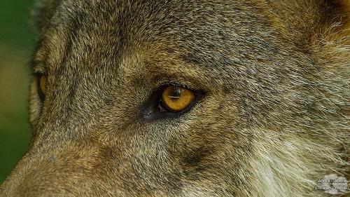 Die Augen des Wolfes sind nach vorne gerichtet, sodass sich ihr Blickfeld überschneidet, was ein räumliches Sehen ermöglicht.