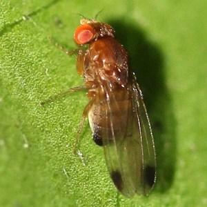 Ein Drosophila suzukii – Männchen, deutlich an den dunklen Fleck auf jeder Spitze des Flügels zu erkennen.