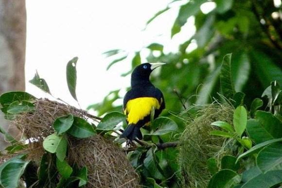 Gelbbürzelkassike solidarisiert sich mit Waldwespen zum eigenen Schutz.