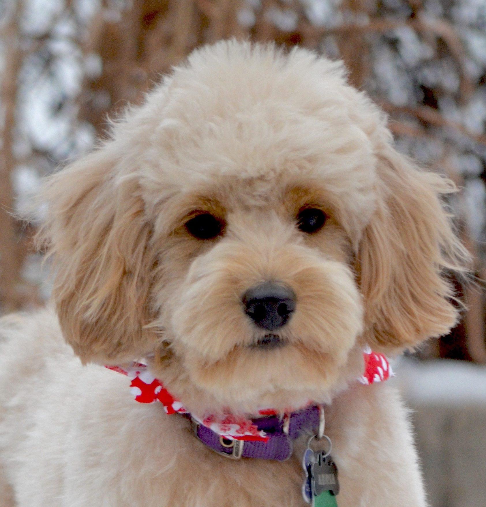 Fullsize Of Poodle Puppy Cut
