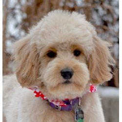 Small Crop Of Poodle Puppy Cut