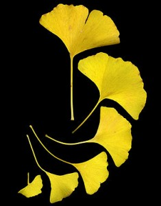300px-GinkgoLeaves
