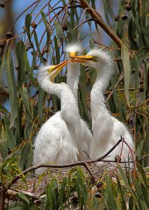 300px-Ardea_alba;_3_chicks,_Morro_Bay_Heron_Rookery_2_-_by_Mike_Baird