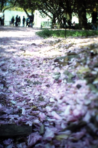 Blossoms on the ground @ Brooklyn Botanical Gardens