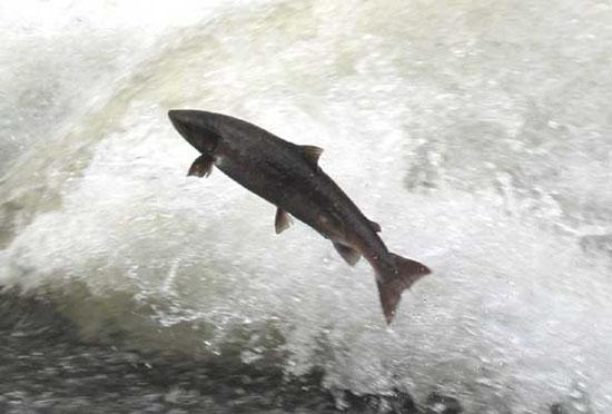 salmon-spawning
