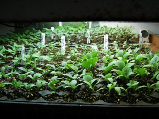 Hundreds of seedlings