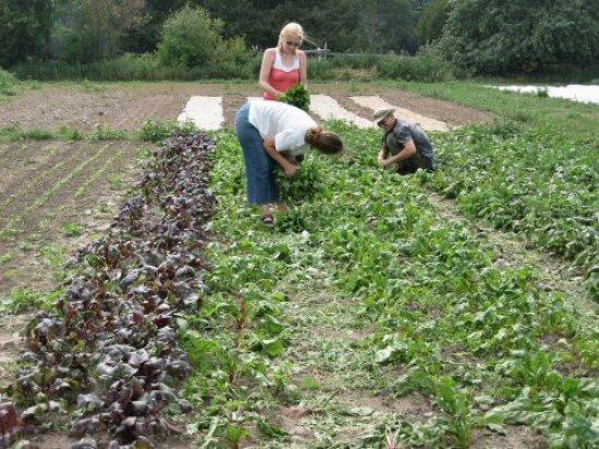 Harvesting beet greens