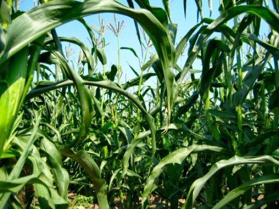 Earlivee corn