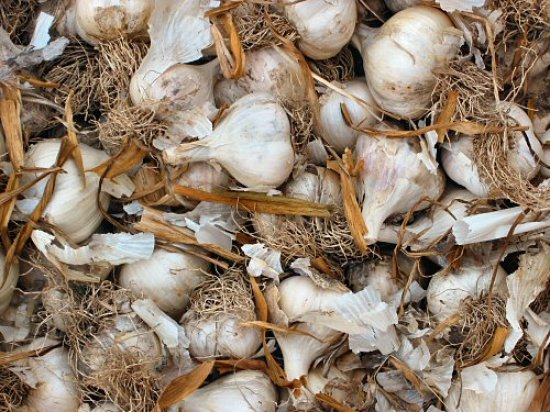 Garlic selection