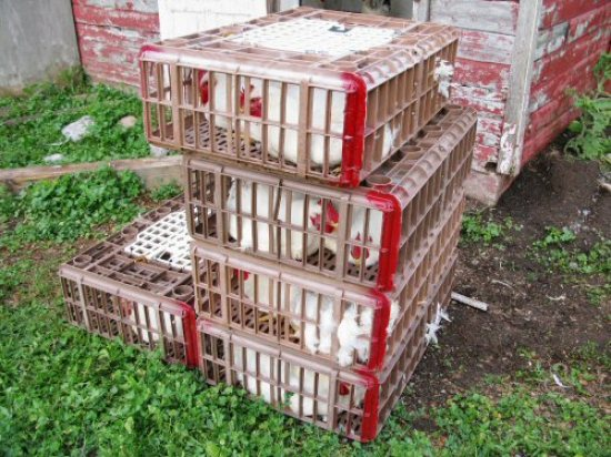 Crated chickens