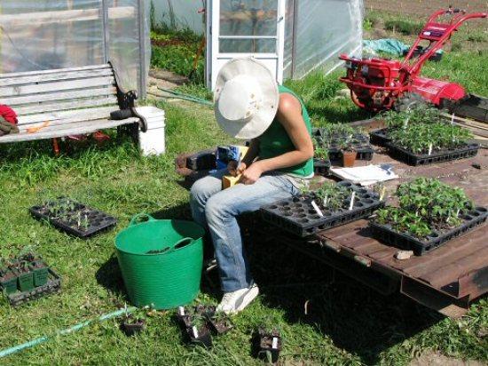 Potting tomato seedlings for market