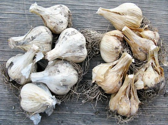 Grading garlic