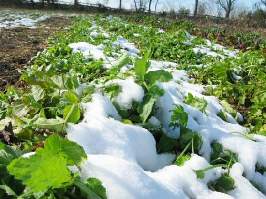 Snow on parsnips
