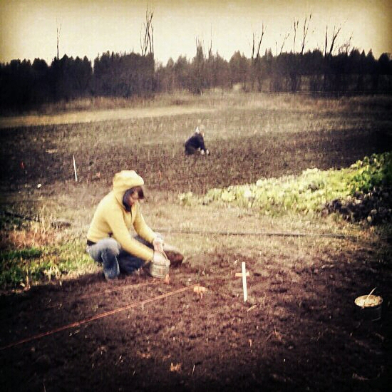 Planting garlic