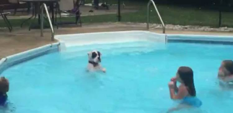 Boxer puppy swimming in pool with kids