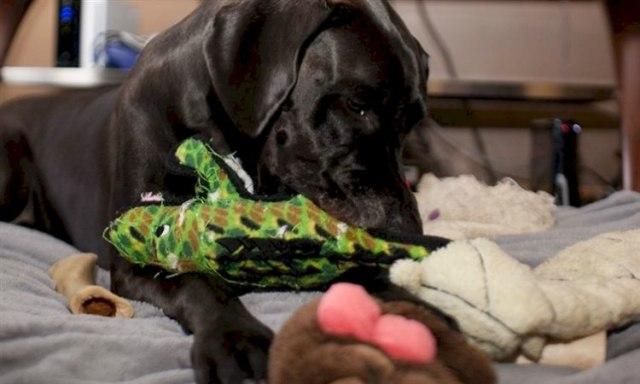 Dog plays with plush dog toy