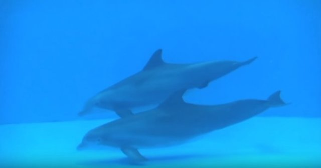 Dolphin giving birth with dolphin helper