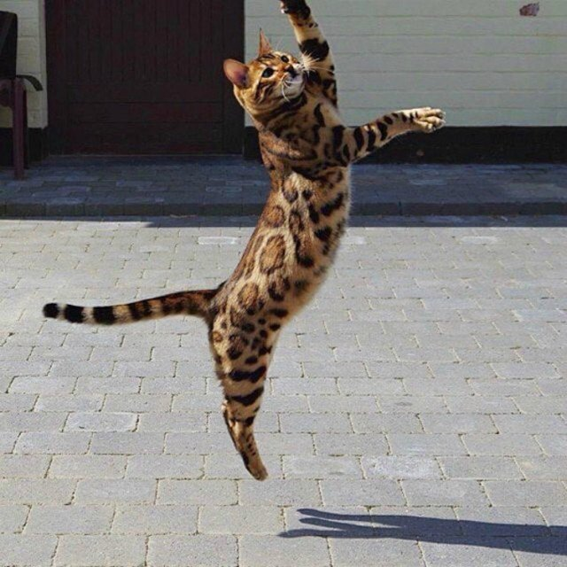 Thor the cat jumping.
