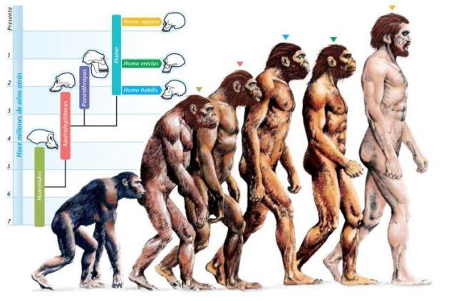 Диаграмма этапов эволюции человека.