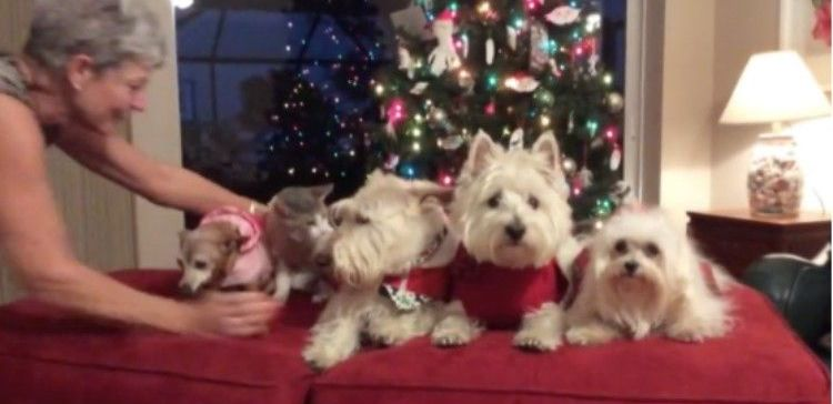 woman trying to pose her dogs and cat for Christmas card