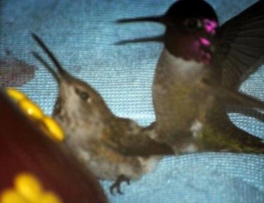Image of hummingbirds.