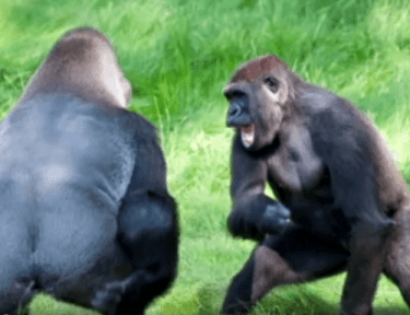 Image of two gorillas.