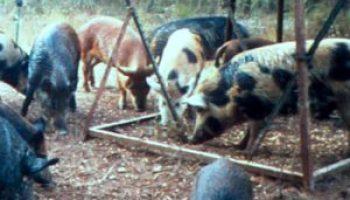 Extension pubs provide info on porcine pest