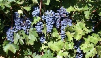 May 2 workshop in Fredericksburg to address 'grape expectations'