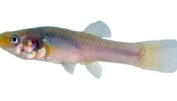 Texas A&M scientists study Mexican fish with an 'alien' appetite