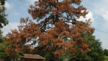AgriLife Extension 'dealing with drought' program April 9 in Austin will be rooted in trees