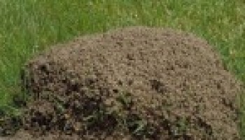 AgriLife Extension entomologists: Fire ants, mosquitoes to be more prevalent after rains