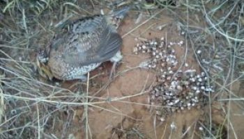 Sick/dead wild quail sought for study