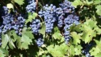 'Grape expectations' will be focus of May 4 workshop in Fredericksburg
