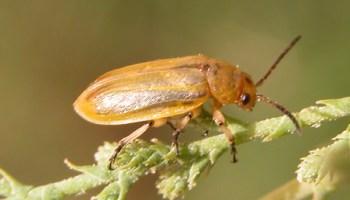 AgriLife Extension expert advises on controlling saltcedar leaf beetle on athel