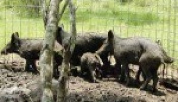 Feral hog workshop set for Aug. 10 in Seguin