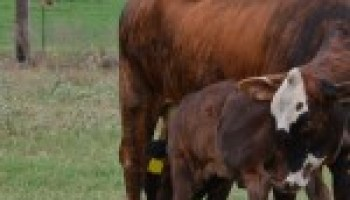Central Texas Cow/Calf Clinic set Jan. 5 in Cameron