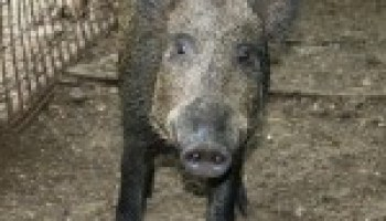 Feral hog workshop slated for May 31 in Floresville