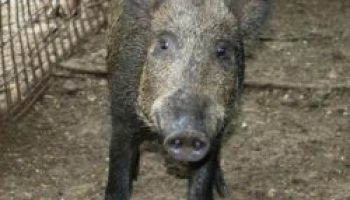 Feral hog management workshop set for Feb. 5 in Luling