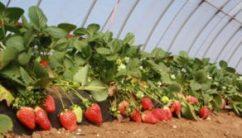 AgriLife Extension specialist receives grant for future strawberry work