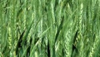 Combined Wheat and Vegetable Field Day slated for April 23 in Uvalde